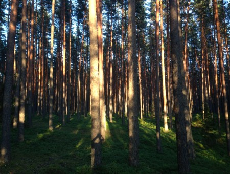 Ancient coniferous forest